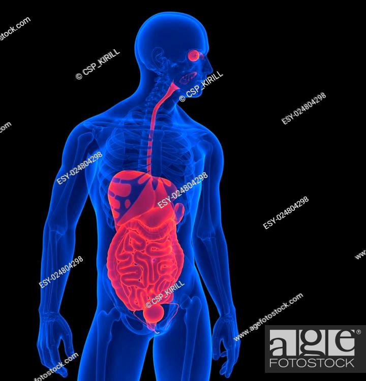 The Human Body 3d Render Of A Human Internal Organs Contains
