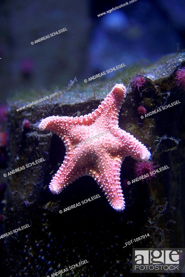 Stock Photo: A starfish underwater.