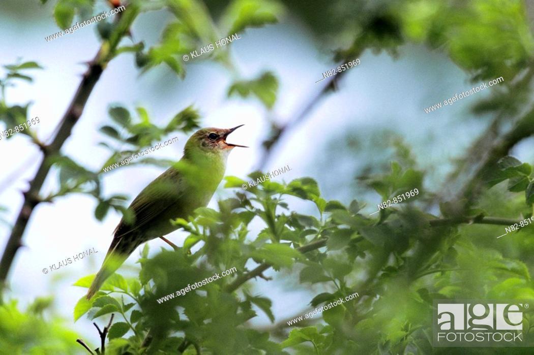 Stock Photo: Grasshopper Warbler Locustella naevia singing on brier wood - Bavaria / Germany.