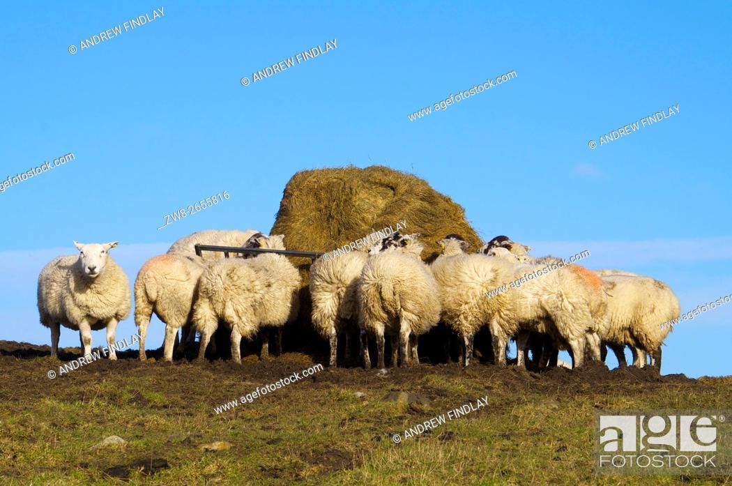 Stock Photo: Sheep feeding from hay feeder. Hexham, Northumberland, England, United Kingdom, Europe.