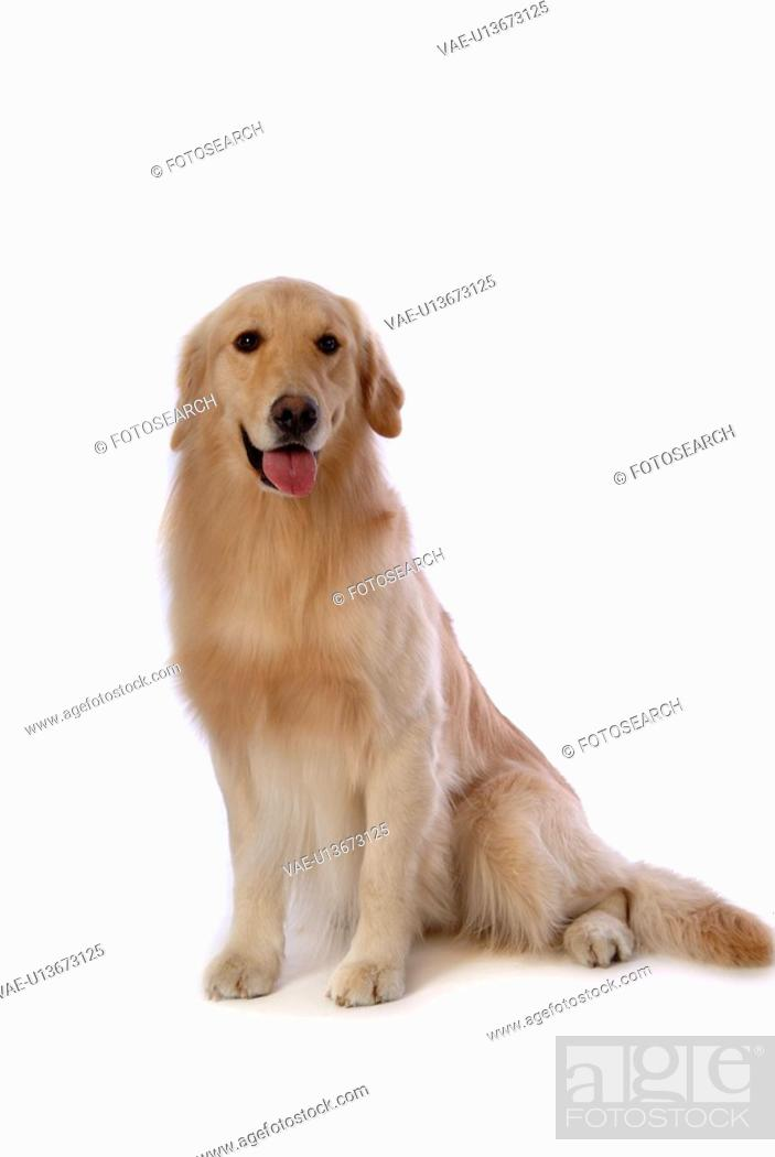 Stock Photo: retriever, animal, golden retriever, petdog, dog, domestic animal, pet.