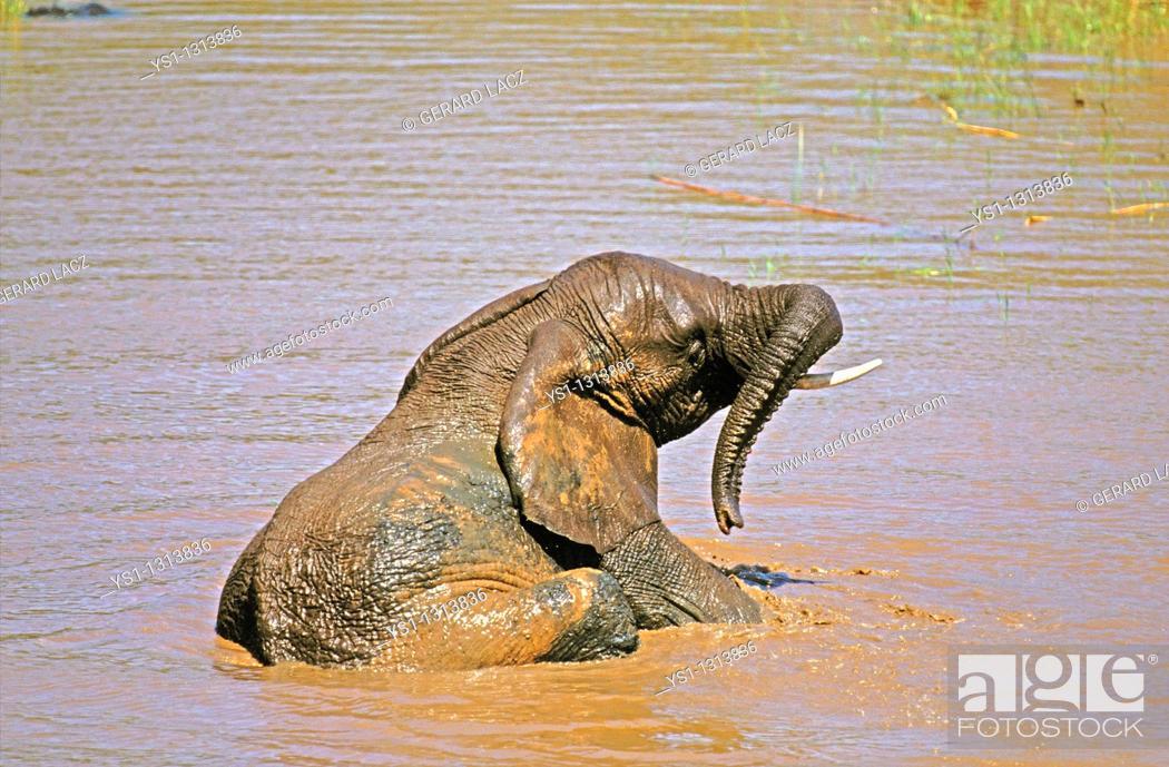 Stock Photo: AFRICAN ELEPHANT loxodonta africana, YOUNG HAVING BATH IN WATER, KENYA.