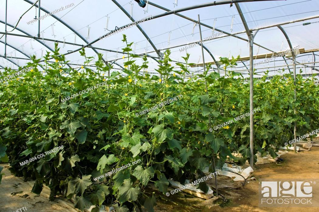 Stock Photo: coltivazione di cetrioli, maxi serra solare salva suolo, azienda agricola san maurizio, merlino, lombardia, italia.