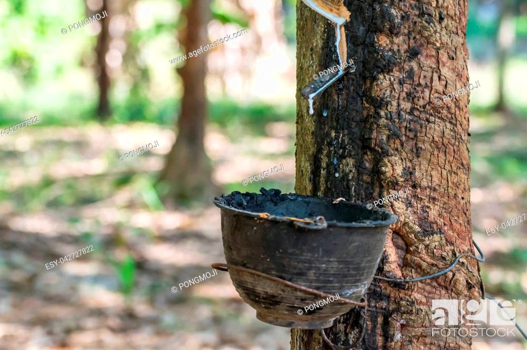 Stock Photo: Rubber tree with natural rubber in white milk color drop to the bowl or pot at rubber tree plantation natural latex is a agriculture harvesting for industry in.