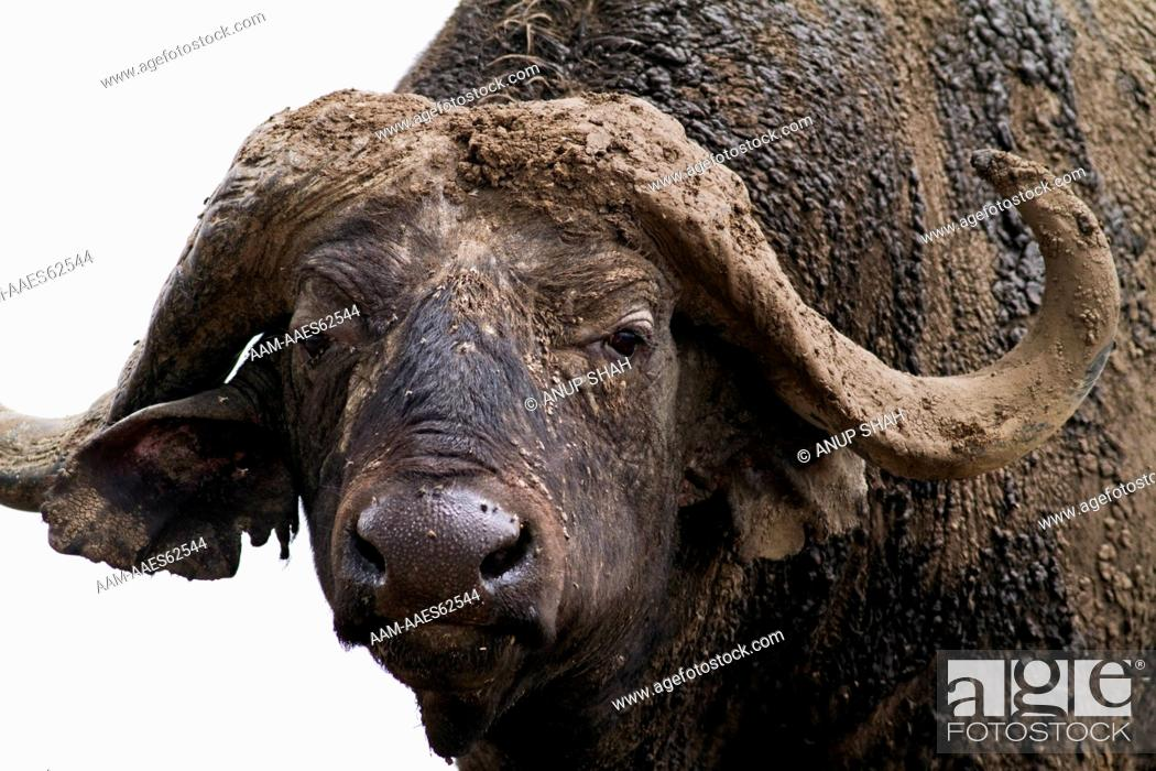 Stock Photo: Cape or African Buffalo male caked in mud head and shoulders portrait (Syncerus caffer). Maasai Mara National Reserve, Kenya. Feb 2010.