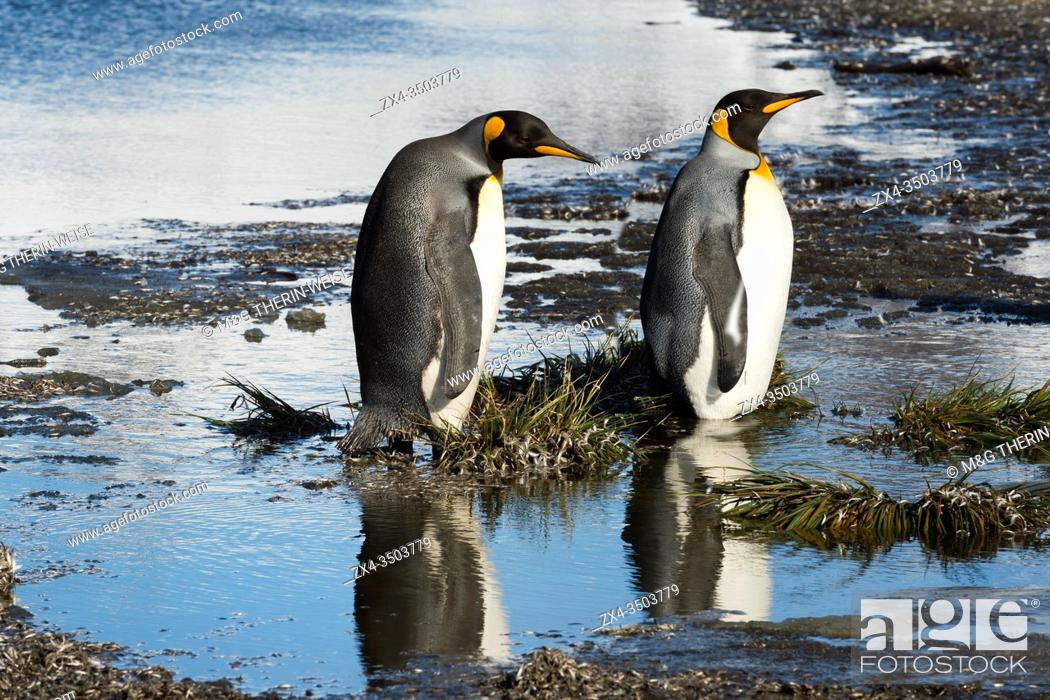 Imagen: Two King Penguins (Aptenodytes patagonicus) crossing a stream, Salisbury Plain, South Georgia, Antarctic.
