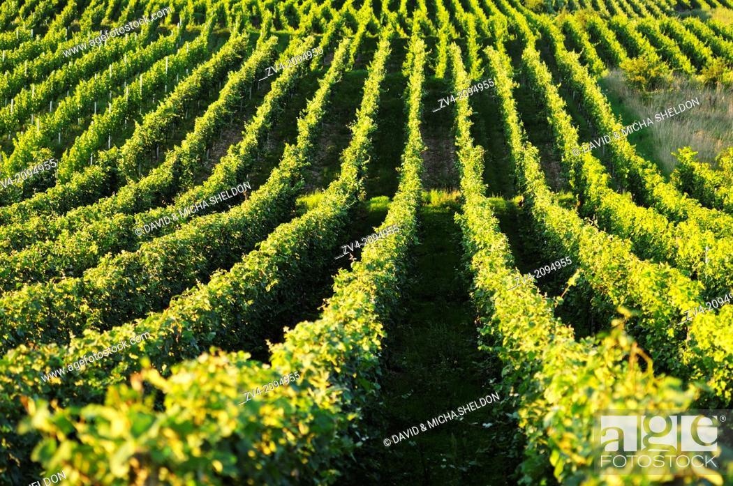 Stock Photo: Landscape of a vineyard.