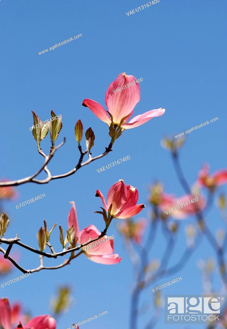 Stock Photo: Dogwood.