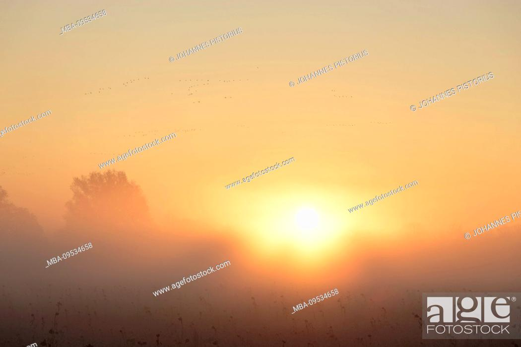 Stock Photo: Europe, Germany, Lower Saxony, Otterndorf. Misty sunrise over a sunflower meadow. The sky above is full of migratory birds.