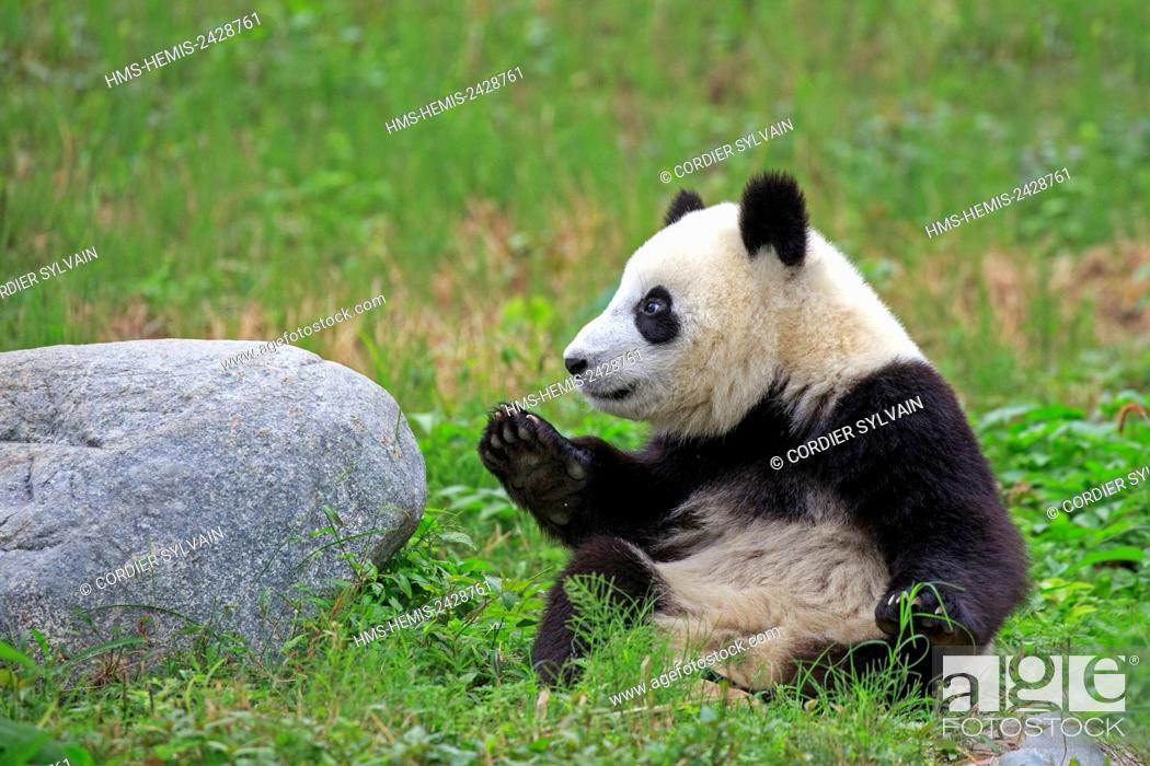 Stock Photo: China, Sichuan province, Chengdu, Research Base of Giant Panda Breeding or Chengdu Panda Base, Giant Panda (Ailuropoda melanoleuca), captive.