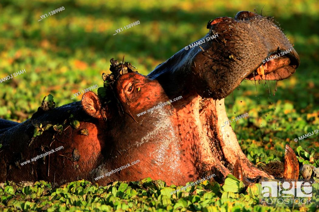 Stock Photo: In daytime hippos can be found resting in water or river banks  At night they leave the river banks to feed on grass.
