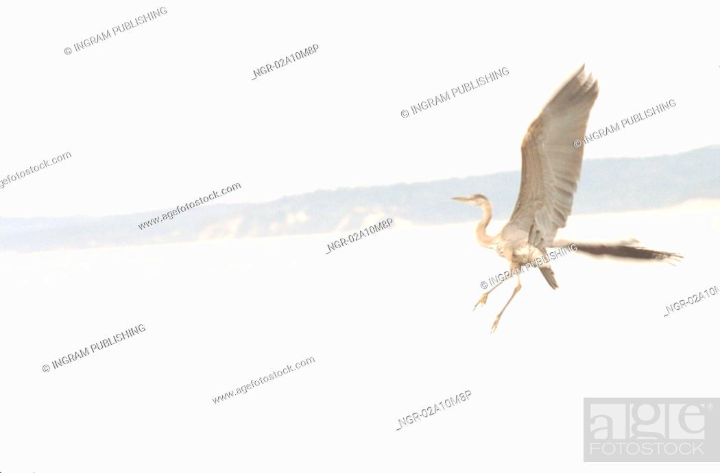 Stock Photo: Blue Herone in Flight Over Lake.