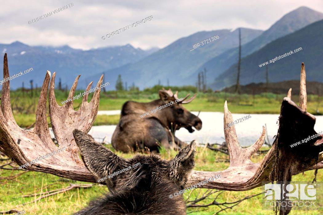 Stock Photo: Moose (Alces alces), Alaska Wildlife Conservation Center, Alaska, United States.