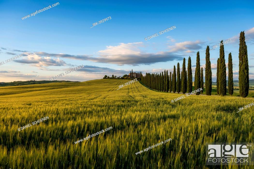 Stock Photo: Cypress avenue, evening light, Val d'Orcia, UNESCO World Heritage Site, near San Quirico d'Orcia, Province of Siena, Tuscany, Italy.