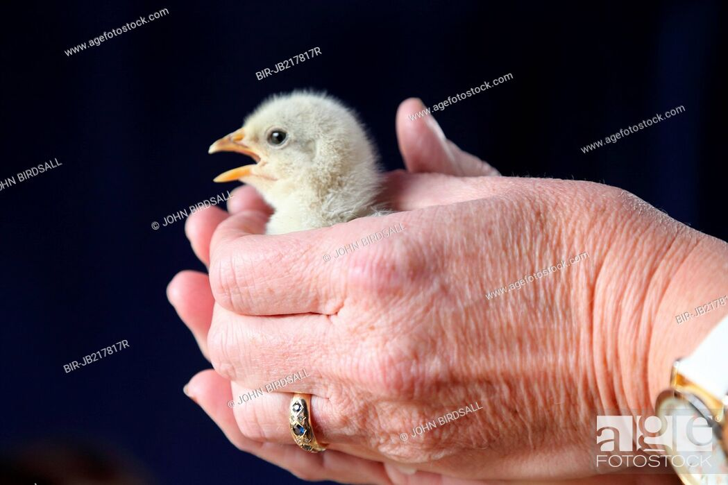 Imagen: Chick being held.