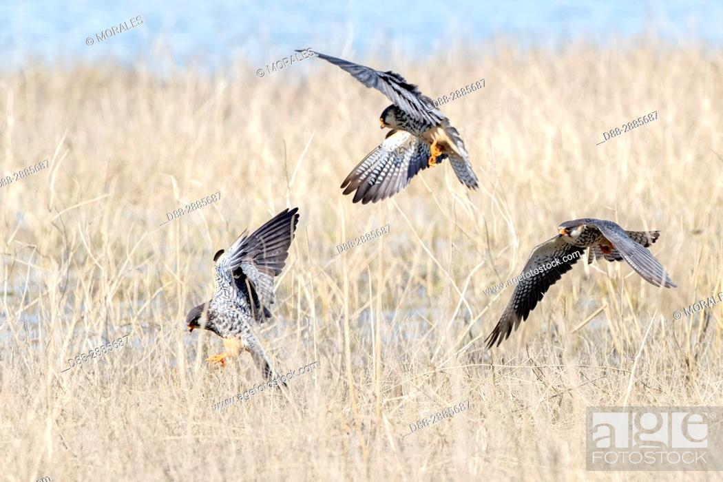 Stock Photo: Asia, India, Nagaland province, Amur falcon (Falco amurensis) (Falco vespertinus var. amurensis), Up to one million birds are concentrated in Nagaland on their.