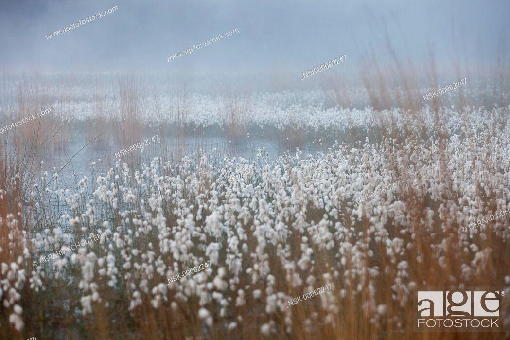 Imagen: Common Cottongrass (Eriophorum angustifolium) in a fen, The Netherlands, Helmond.