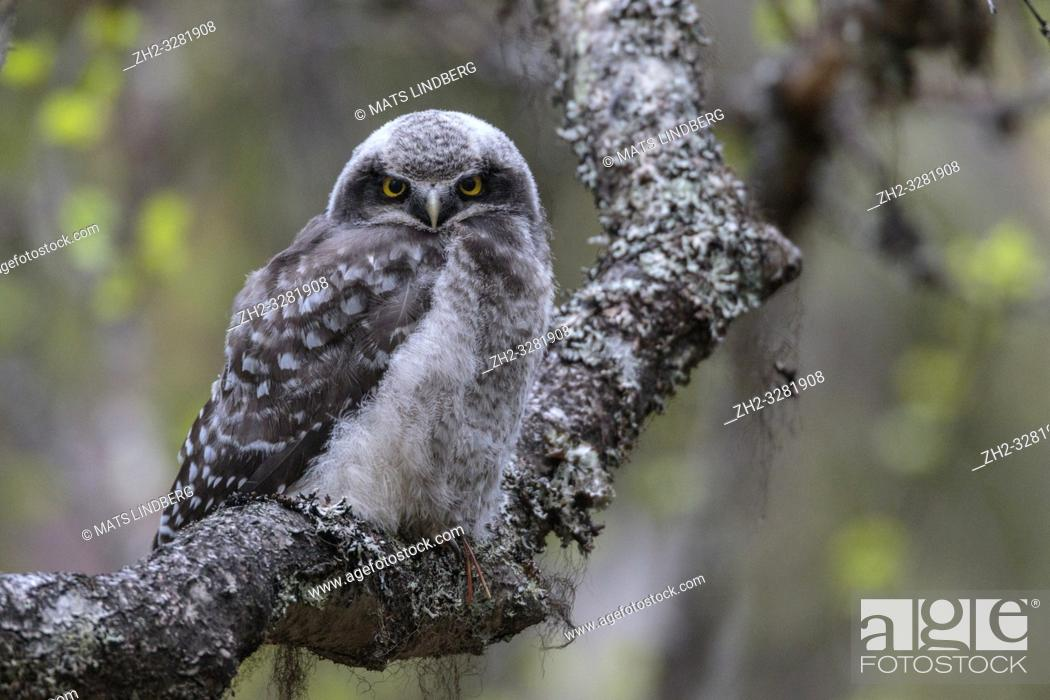 Stock Photo: Juvenile Northern hawk-owl, Surnia ulula, sitting in a birch tree looking in to the camera, Gällivare county, Swedish Lapland, Sweden.