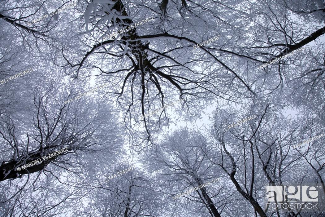 Stock Photo: Winter Canopy of Old Beech Forest, Sleza Mountain, Lower Silesia, Poland.