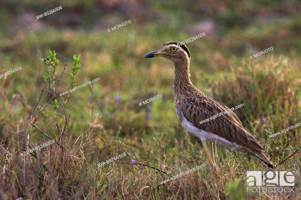 Stock Photo: double-striped stone-curlew Burhinus bistriatus, Venezuela, Llanos de Orinoco.