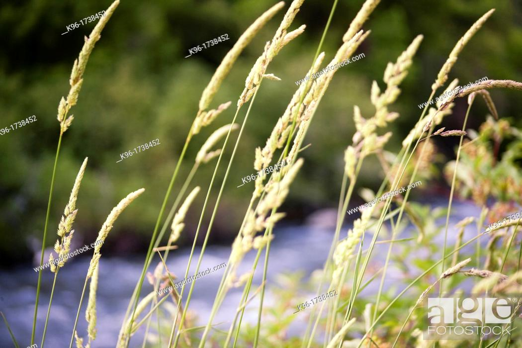 Stock Photo: weeds in the sunlight against a river.