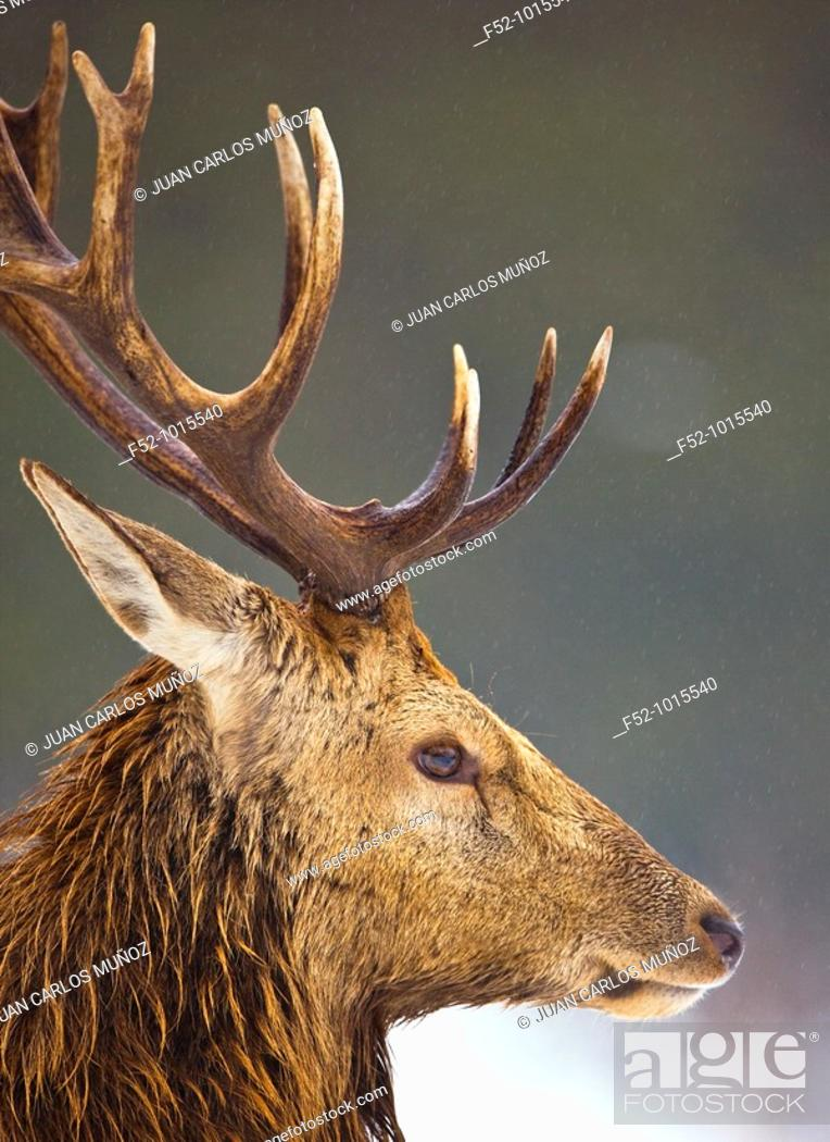 Stock Photo: Red Deer (Cervus elaphus).