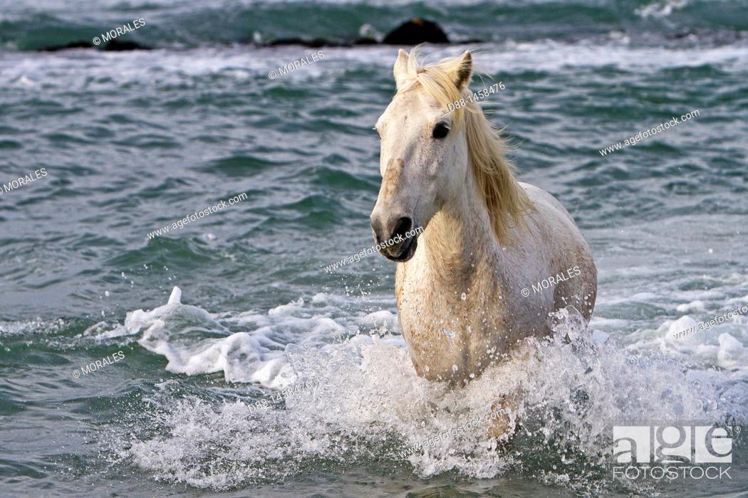 Stock Photo: France, Bouches du Rhone, Natural Regional Park of Camargue , Saintes Maries de la Mer, Camargue horse.