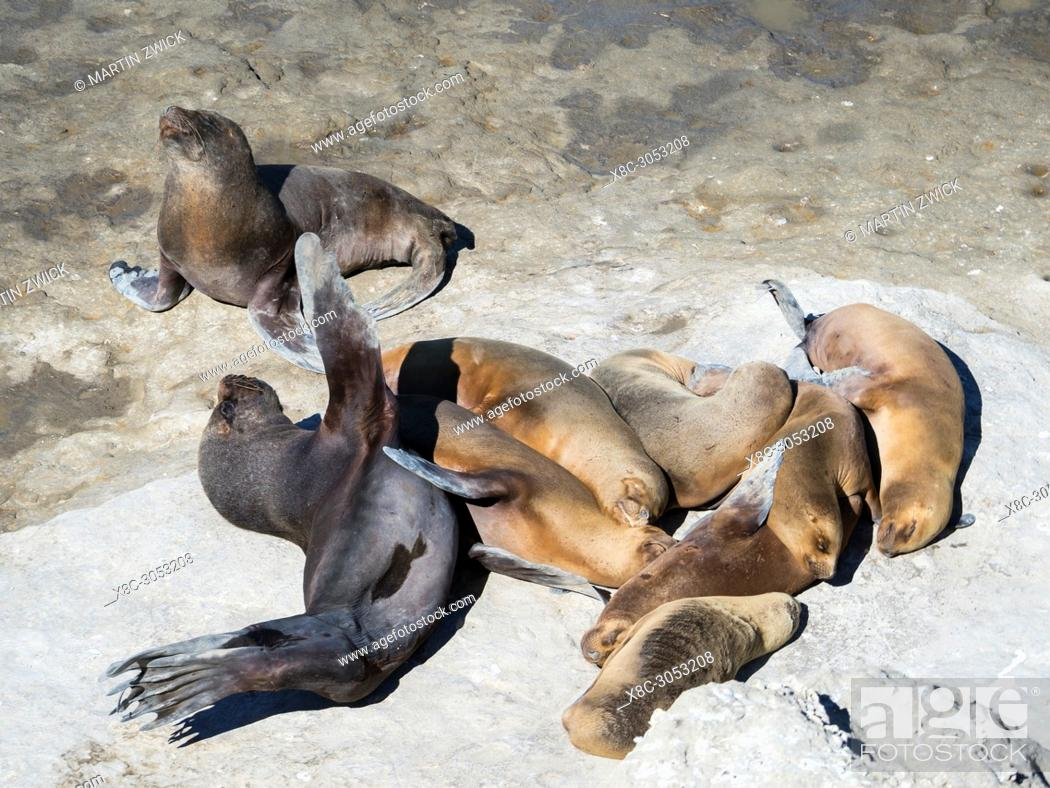 Imagen: Bull with females. South American sea lion (Otaria flavescens) also called Southern Sea Lion and Patagonian Sea Lion, colony in the National Park Valdes.