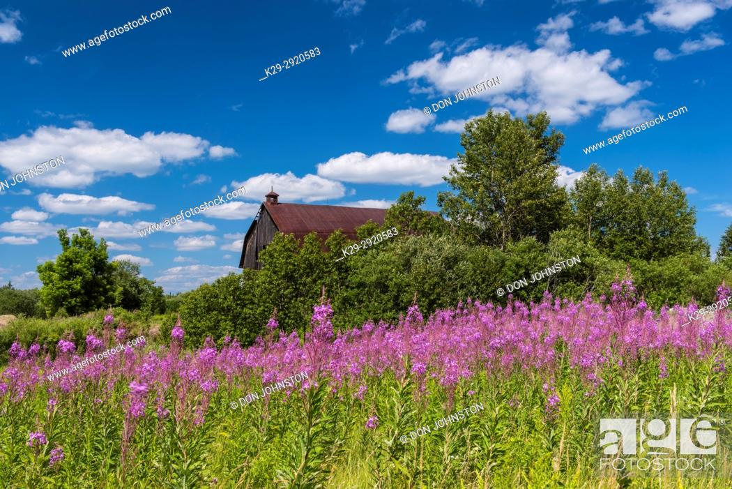 Stock Photo: An old barn with a patch of flowering fireweed, Greater Sudbury, Ontario, Canada.