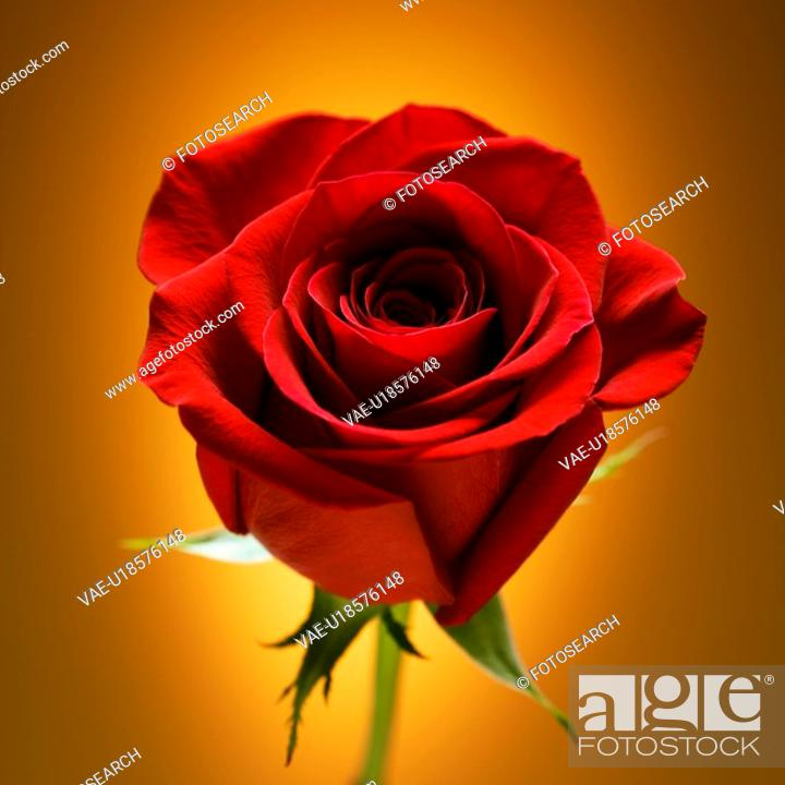Stock Photo: Single long-stemmed red rose against glowing golden background.