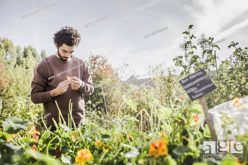 Stock Photo: Man in urban garden examining flower.