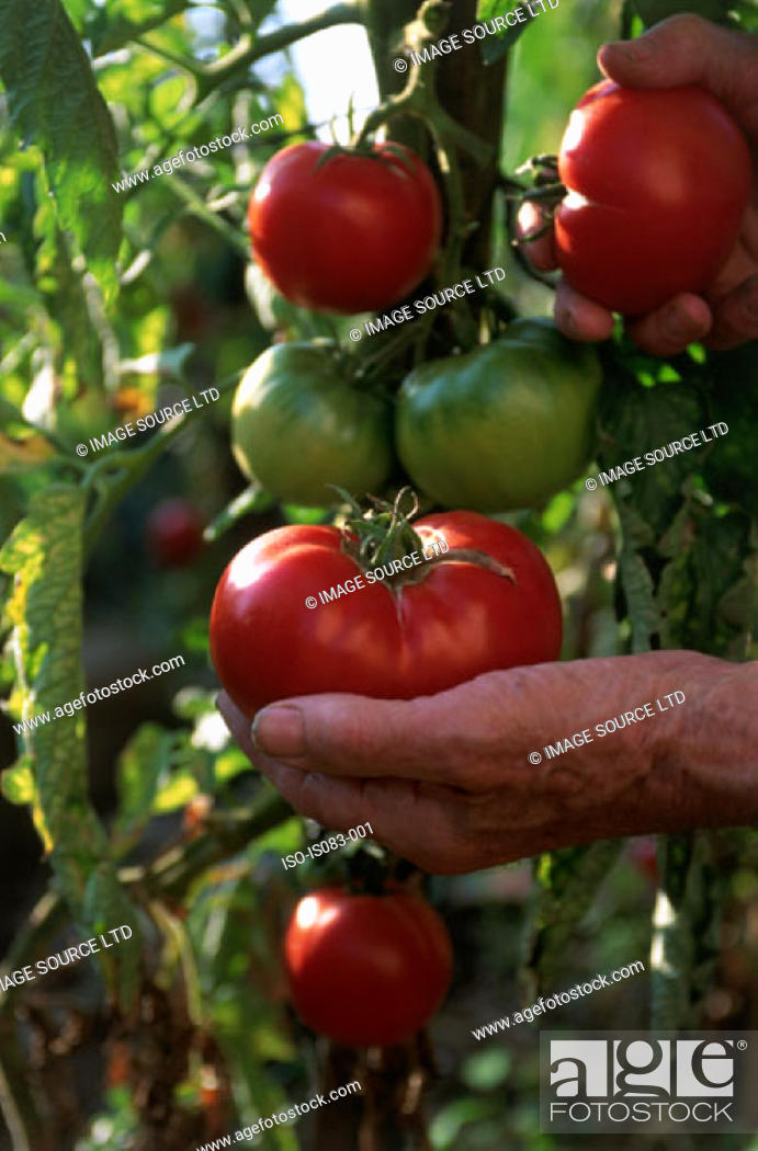 Stock Photo: Harvesting tomatoes.