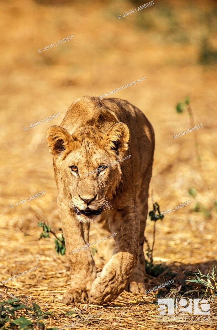 Stock Photo: africa, tanzania, young lion.