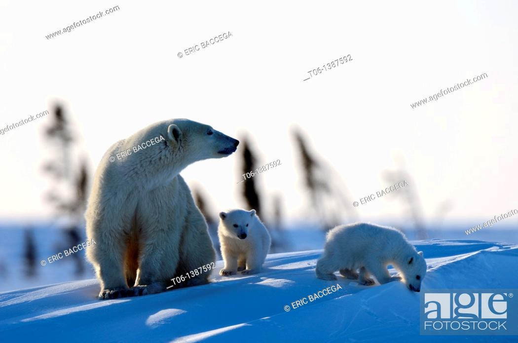 Stock Photo: Polar bear mother Ursus maritimus with two 3 months old cubs, coming out of the den in March  Wapusk National Park, Churchill, Manitoba, Canada.