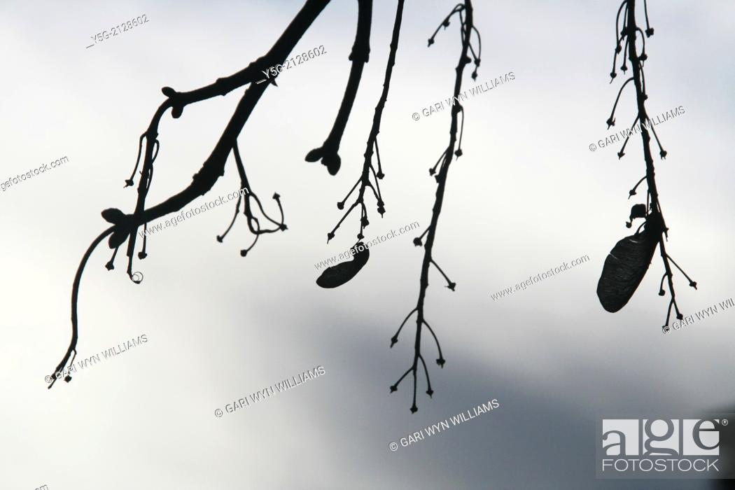 Stock Photo: seeds on bare tree branches.