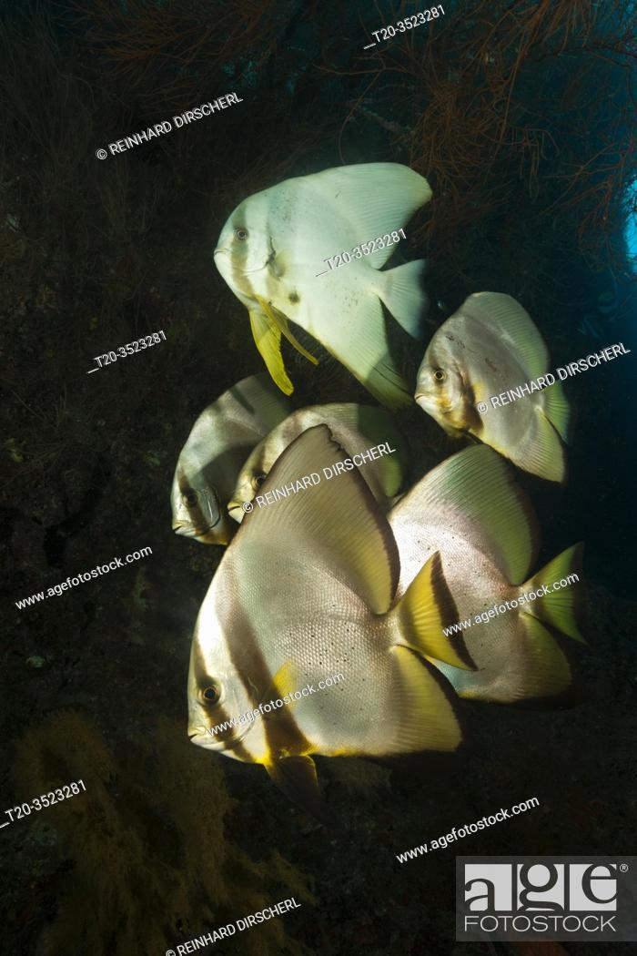 Stock Photo: Shoal of Longfin Batfish, Platax teira, New Ireland, Papua New Guinea.