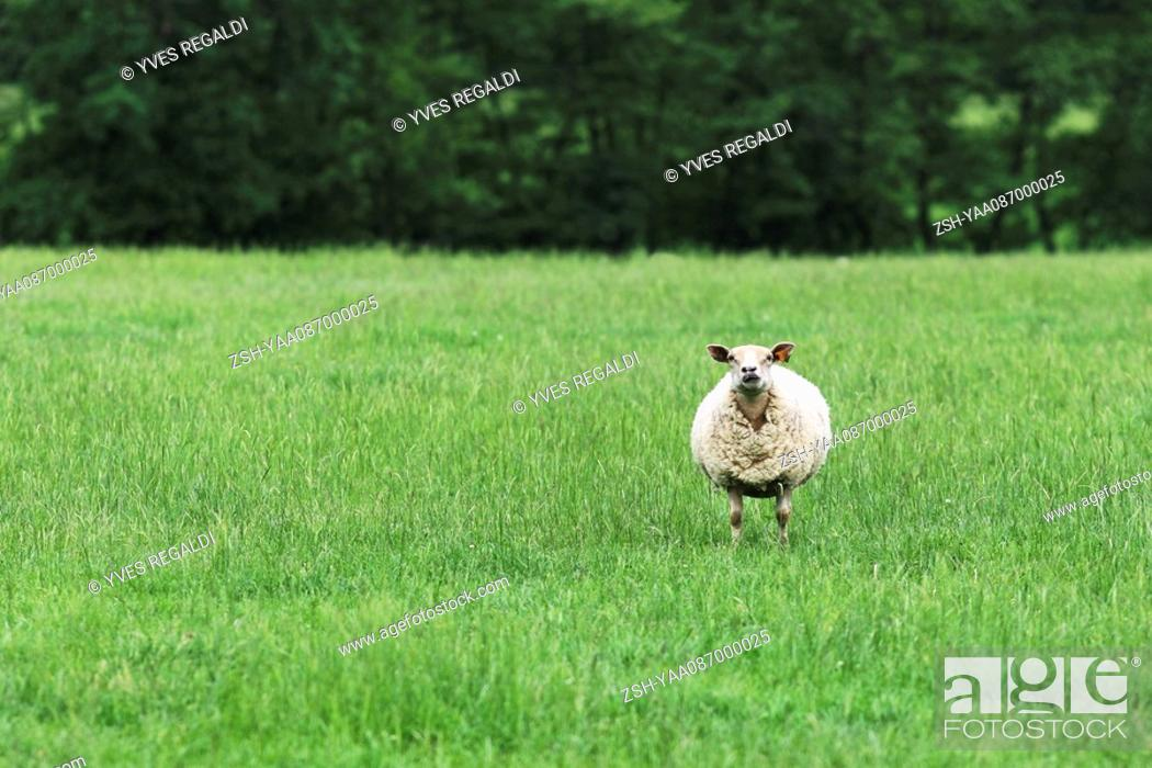 Stock Photo: Solitary sheep in field.