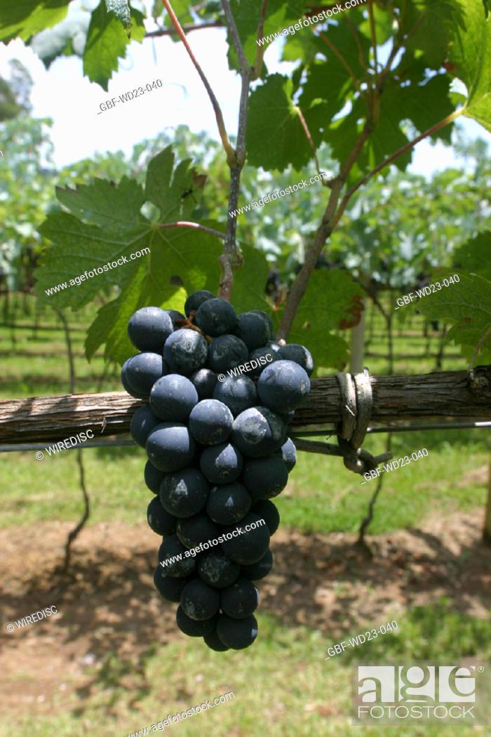 Stock Photo: Plantations, vineyard, agriculture, Brazil.