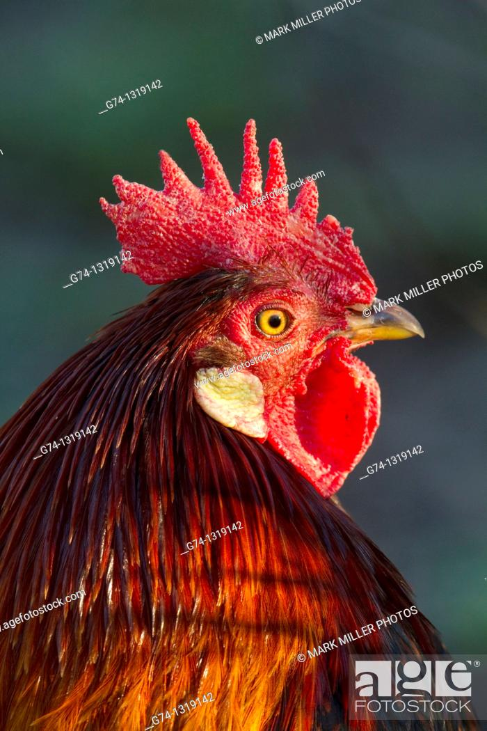 Stock Photo: Rooster roaming free in the streets of San Juan Bautista, California, USA.