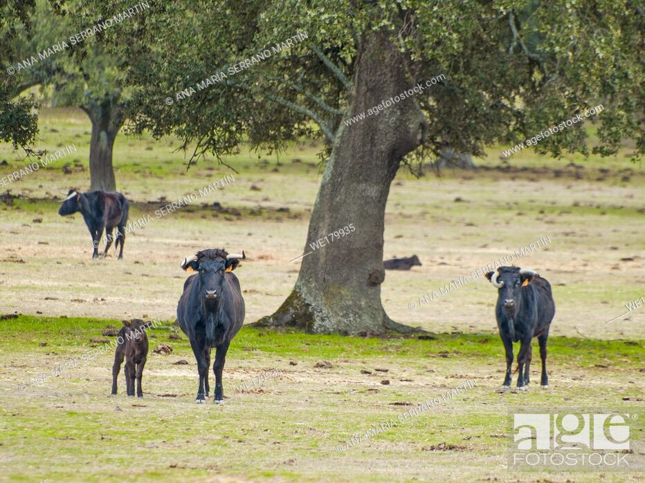 Imagen: Cows and calves grazing in the dehesa in Salamanca (Spain). Ecological extensive livestock concept.