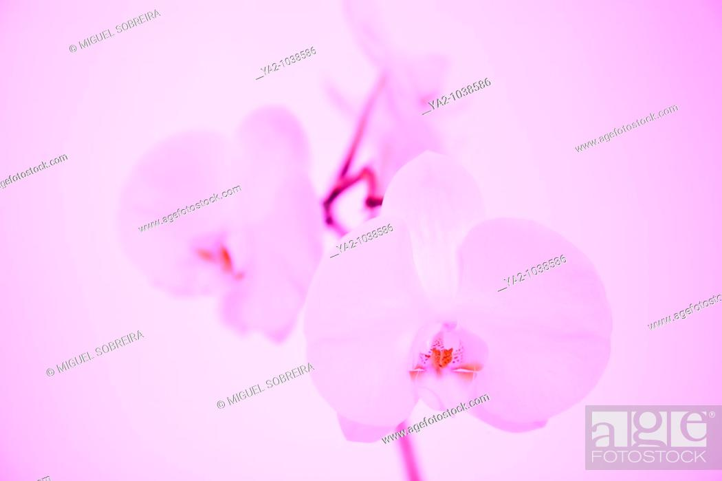 Stock Photo: White Orchid in pink Light.