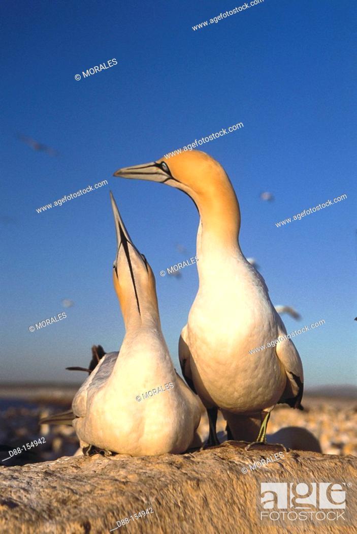 Stock Photo: Cape Gannet (Morus capensis). South Africa.