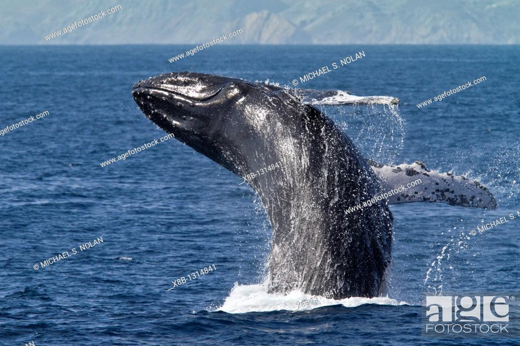 Stock Photo: Humpback whale Megaptera novaeangliae breaching on the Pacific side of Isla Magdalena, Baja California Sur, Mexico  MORE INFO Each winter hundreds of humpback.