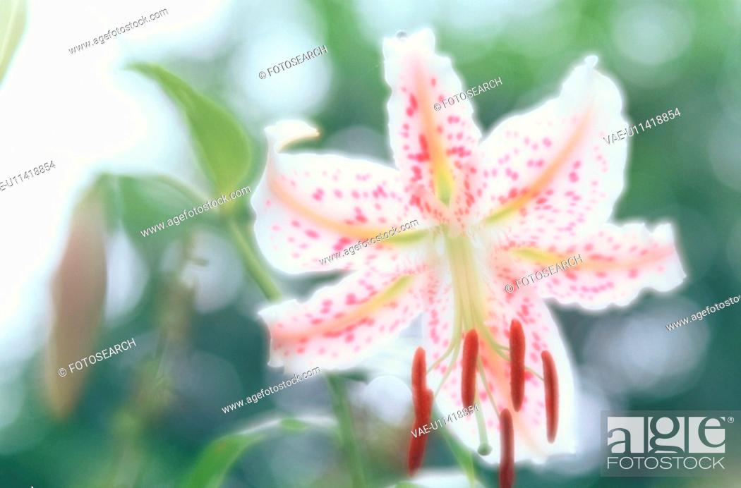 Stock Photo: Flower Of Lily.