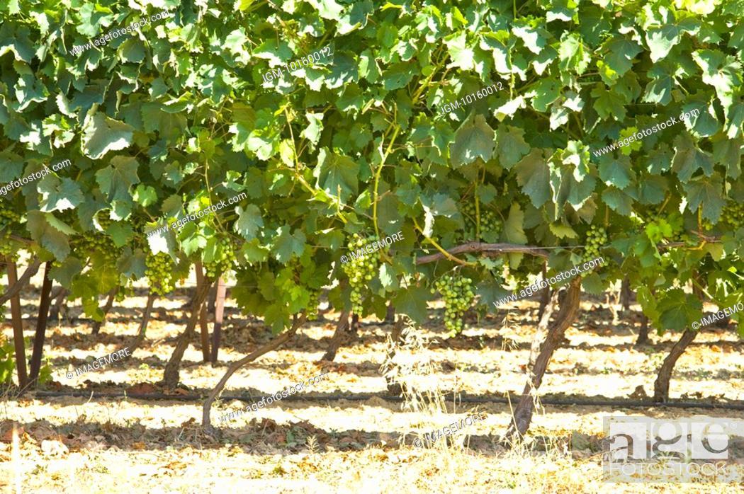 Stock Photo: Vineyard in Provence, France.
