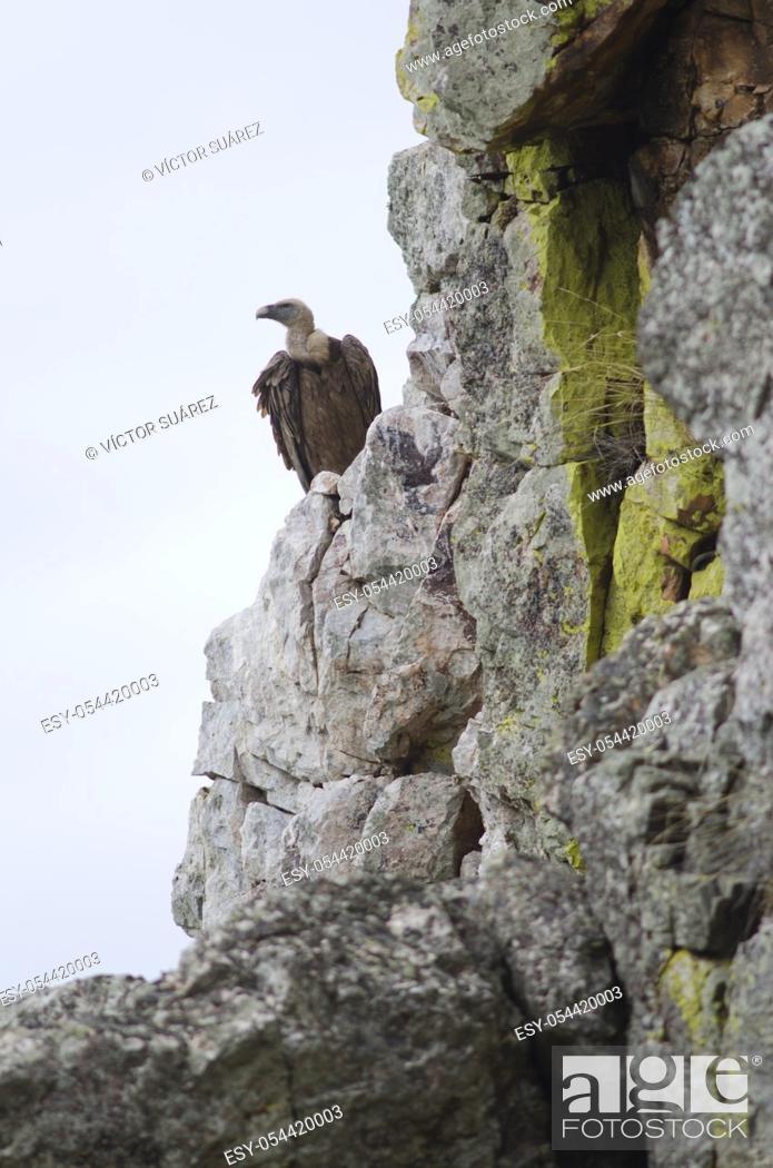 Stock Photo: Griffon vulture (Gyps fulvus). Salto del Gitano. Monfrague National Park. Caceres. Extremadura. Spain.