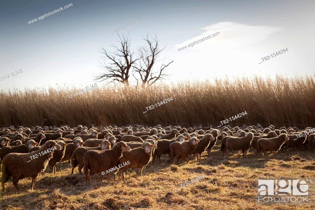 Stock Photo: backlight herd of sheep grazing in the field, Arles, France.