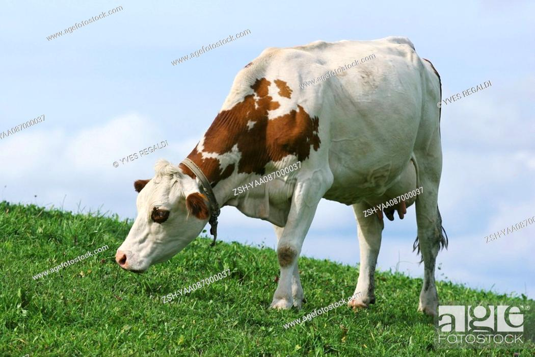 Stock Photo: Dairy cow grazing in pasture, close-up.