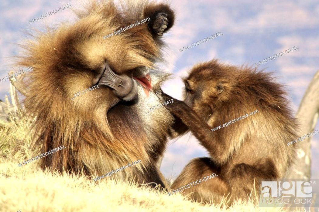 Stock Photo: Africa, Ethiopia, Simien mountains, Gelada monkeys Theropithecus gelada social activity.