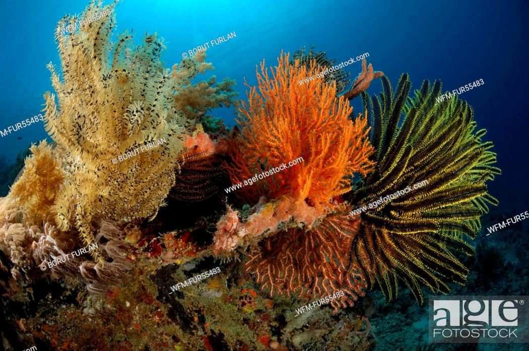 Stock Photo: Feather Stars in Coral Reef, Comanthina sp., Alor, Indonesia.